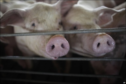 swine_f